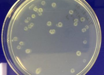 Trichoderma colonies